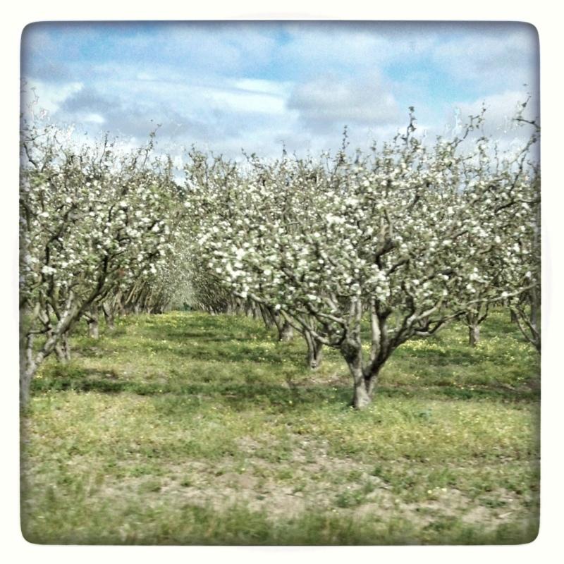 apples on ECR