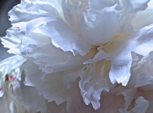 1. White Peony, iPhone 4s, June 2014; © Sally W. Donatello and Lens and Pens by Sally, 2014