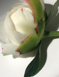 5.  White Peony Bud, iPhone 4s, June 2014; © Sally W. Donatello and Lens and Pens by Sally, 2014