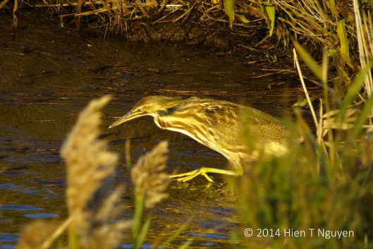 American Bittern Lunging After Prey